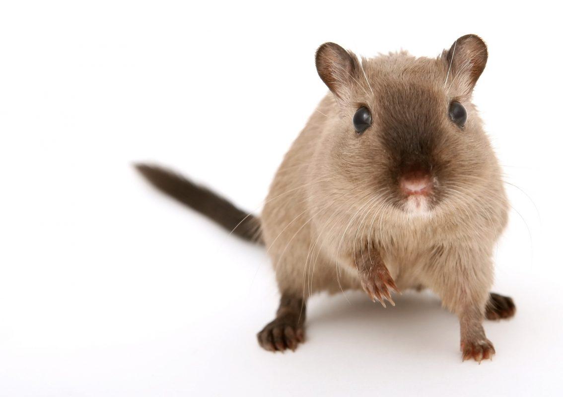 Die Maus als Grund für die Verlängerung des Urheberrechts
